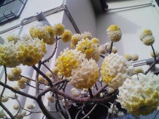 ミツマタが咲いてます。