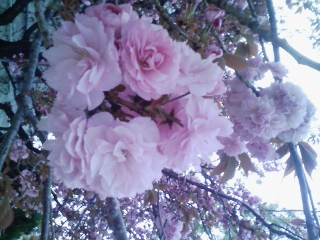 八重桜が咲き始めましたね。